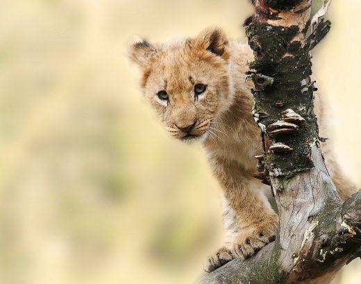 Anksti ryte mėnulis įžengia į liūto ženklą, kadangi iš prigimties liūtas žaismingas,…