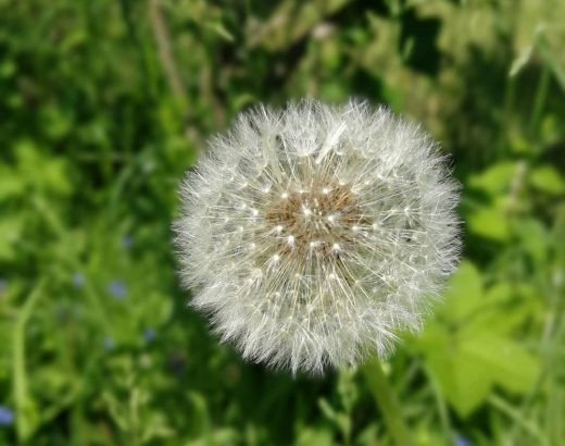 Our life is like dandelion's downy: so many tufts like different threads and ea…