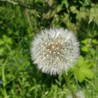 Our life is like dandelion's downy: so many tufts like different threads and eac