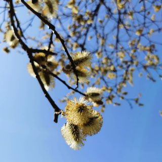 Through blossoms to the sky 🥰 .  . #bluesky #blossoms #blue #naturefotography #tree #april #romantic #spring #springvibes #huaweiphotography #blooming #sunny #sunnyday #bloom #pure #delicate #picoftheday #petals #instaflowers #bloomingtree #huaweip30pro #aprilsky #instagood #beauty #beautiful #lithuania #nature #spring2021 #beautifulplanet #lovenature