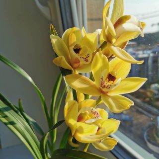 The beauty of flower 😍🌸💐 . . . #nofilters #orchid #orchids #orchidee #orchidlover #cymbidium #blossom #flowerphotography #flower #spring #springwibes #beautiful #springflowers #springday #💐 #morningvibes #goodvibes #yellow #goodmorning #morning #sunrise #bmchannel📸 #sunrisephotography #amazing #2021