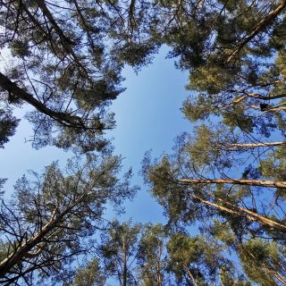 Up to the sky... 😍🌲  #green #pine #intothewoods #hiking #greennature #silence #lithuania🇱🇹 #walk #hiking #huaweiphotography #huaweipro30 #beautifulnaturephotography #instaphoto #socalm #picoftheday #birstonas #pic #instanature #nature #lovepictures #bmchannel📸 #mobilephotography #beautifulday #naturephotography #summer #forest_captures #naturebeauty  #forest #sky
